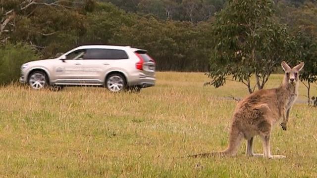 Volvo Akıllı Arabalarının Kangurularla Alıp Veremediği Ne?
