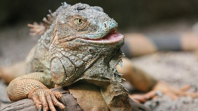 Sosyal Medya Fenomeni Iguananın Şanssız Kuzeni Görüntülendi