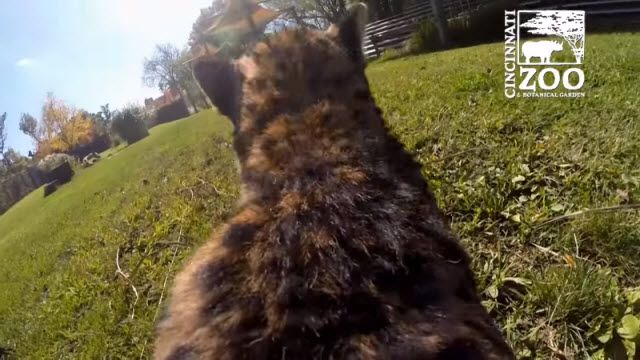 Bir Çitanın Sırtına GoPro Kamera Bağlarsanız Ne Olur?