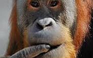 Vahşi Hayatın İçine Sızan Robot Casus Orangutan, Orangu-Cam